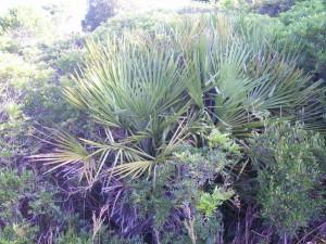 Palmito rodeado de lentiscos, arbusto abundante en el último pinar isleño.