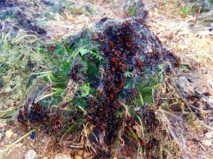 Plaga de orugas en La Isla.