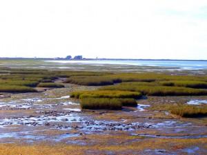 Formaciones de 'spartinas marítimas' en el saco de la Bahía.